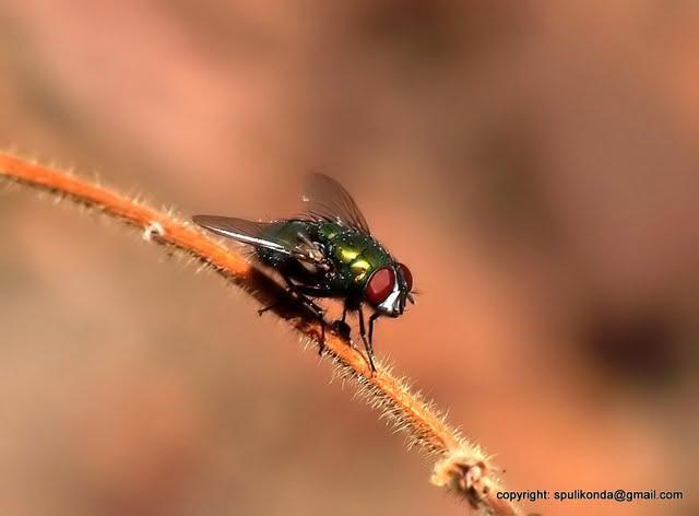 Sri fly