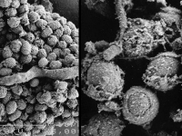 Mold_magnified_3